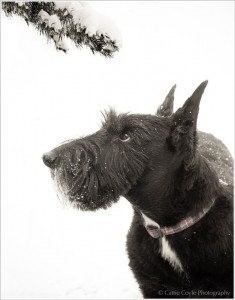 Scottie-with-branch