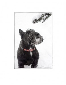 Scottish-terrier-in-the-snow